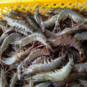 Frozen Blacktiger Shrimp