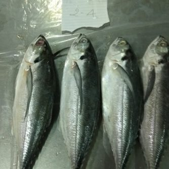 horse mackerel 2-4
