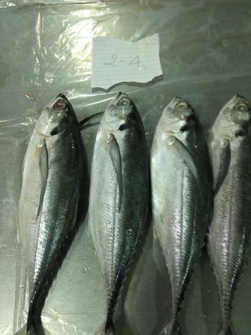 horse mackerel 2-4