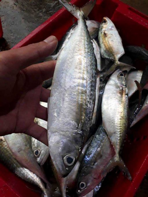 freshness indian mackerel