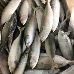 frozen indian mackerel IQF