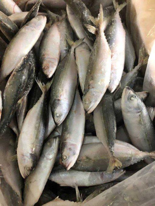 frozen indian mackerel IQF
