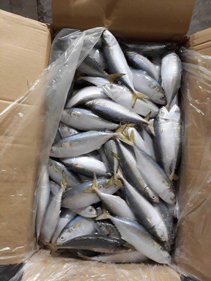 bulk 10kgs indian mackerel