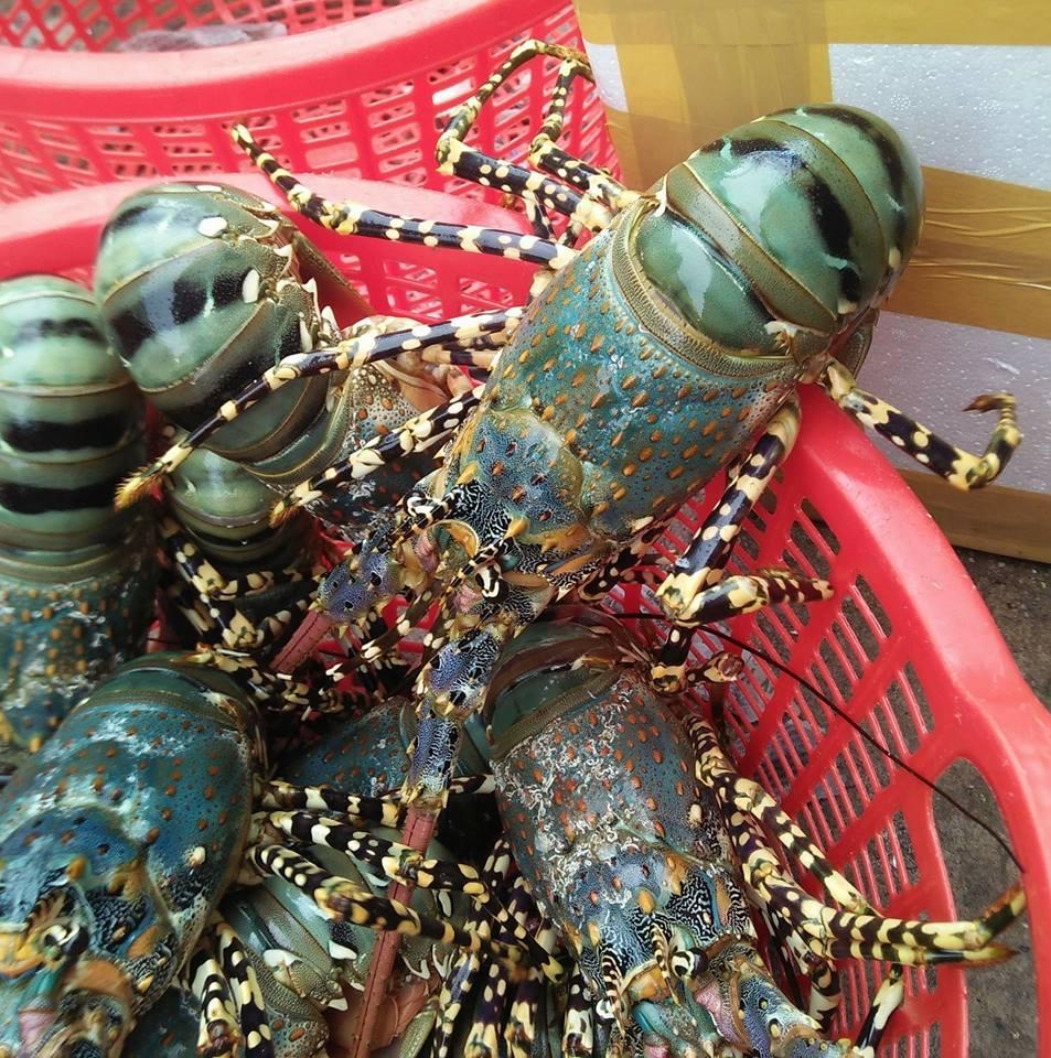 Freshness Lobster Origin from Vietnam