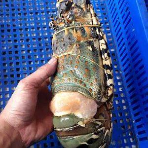 big lobster frozen from Vietnam