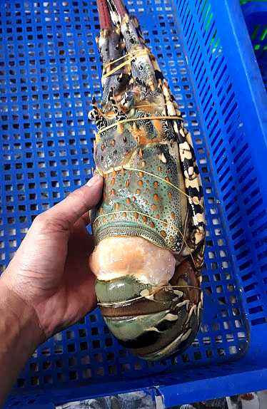 Big one lobster from Pinetree Vietnam