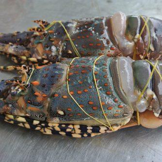 Vietnam Baby Lobster