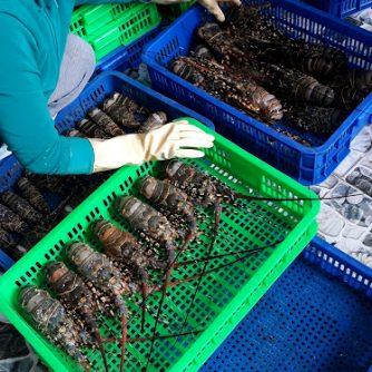 frozen lobster from pinetree vietnam