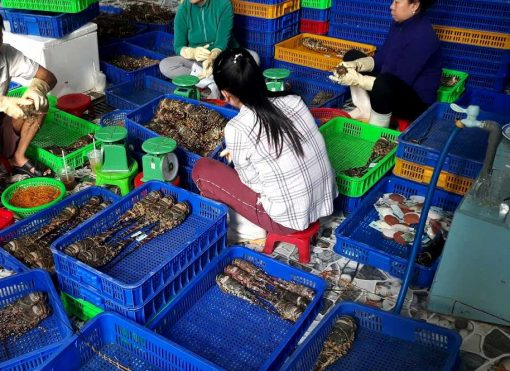 sorting frozen lobster