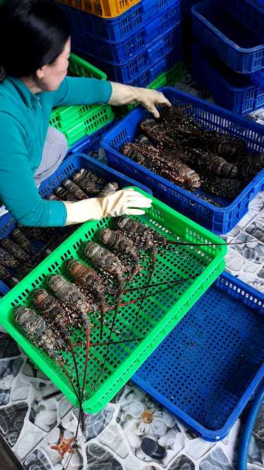 sorting the lobster
