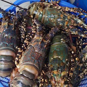Vietnam Frozen Lobster