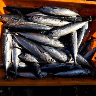 bullet tuna 4-6 6-8