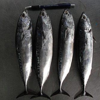 Vietnam Frozen Bullet Tuna