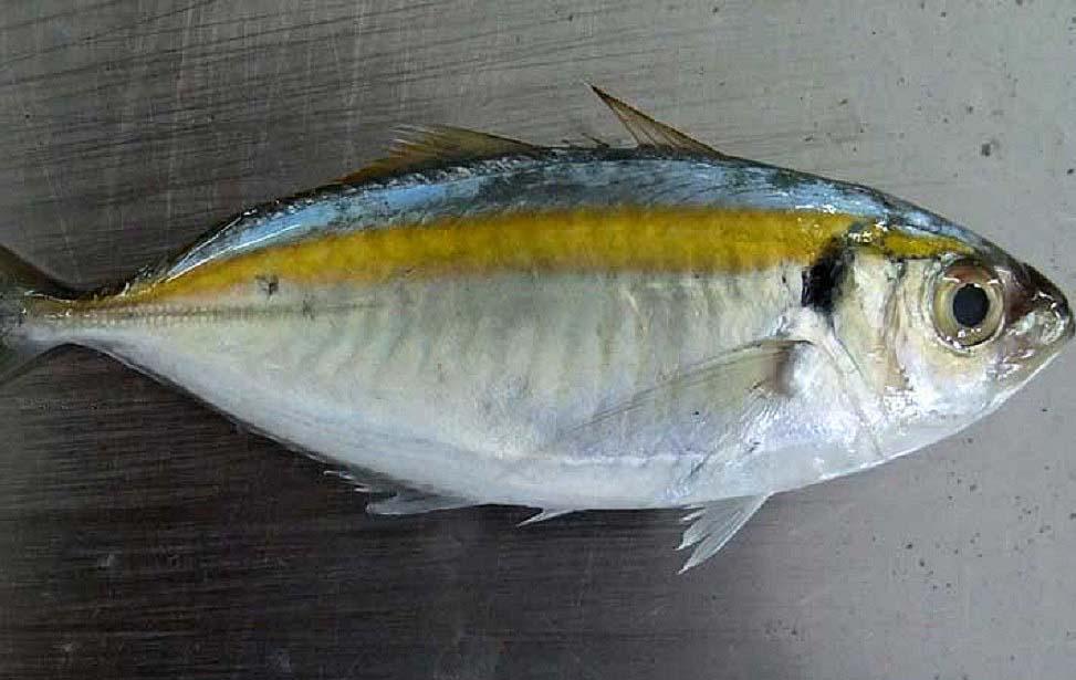 Yellow Stripe Trevally 1