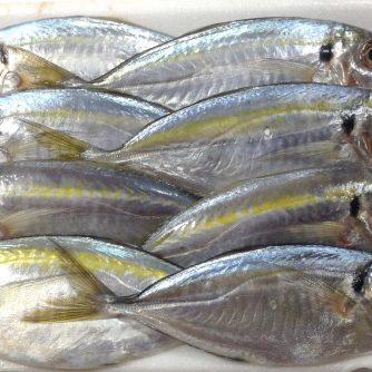 Yellow Stripe Trevally 2