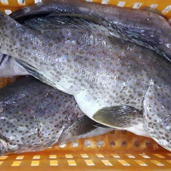 frozen grouper wr wholesale