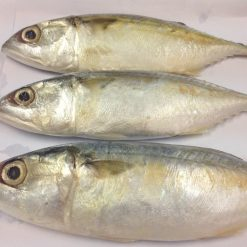 vietnam short mackerel