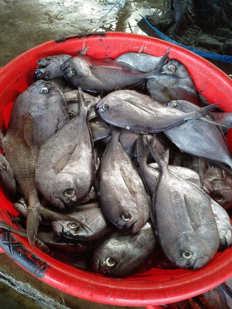 Black Bomfret Vietnam Product