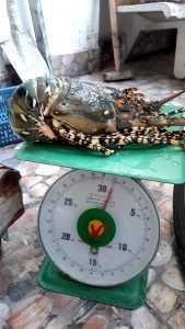 fresh lobster 1kg up