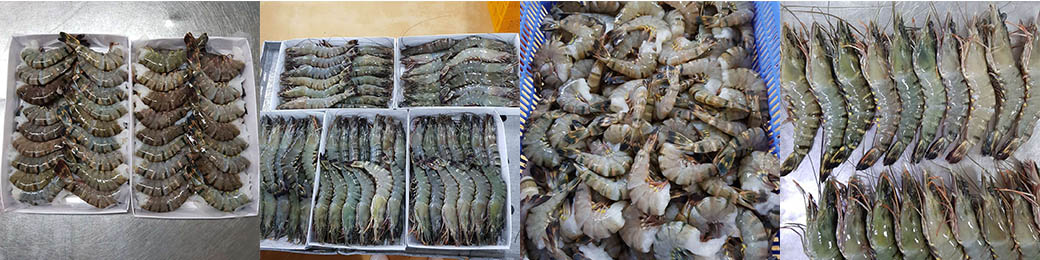 FROZEN BLACK TIGER SHRIMP HOSO & HLSO